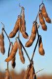 Habas de la soja en el campo listo para cosechar Imágenes de archivo libres de regalías
