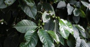Habas de las cerezas del café que maduran en un primer de la rama de árbol del coffea almacen de video