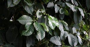 Habas de las cerezas del café que maduran en un primer de la rama de árbol del coffea almacen de metraje de vídeo