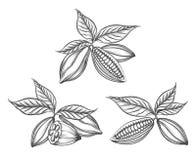 Habas del cacao grabadas ilustración del vector