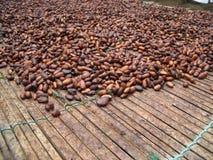 Habas del cacao que se secan en el sol, Ghana Foto de archivo libre de regalías