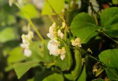 Habas florecientes y de maduraciones en la plantación con los granos grandes en los rayos de la luz del sol Negocio agroindustria foto de archivo libre de regalías