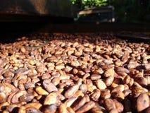 Habas frescas del cacao que se secan en el sol Imagen de archivo
