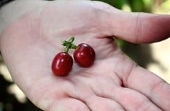 Habas maduras frescas de Coffe ofrecidas Imagen de archivo libre de regalías