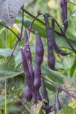Habas púrpuras Fotos de archivo libres de regalías