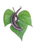 Habas púrpuras con las hojas Foto de archivo