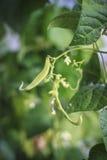 Habas verdes con el flor y las hojas Foto de archivo