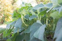 Habas verdes orgánicas frescas en el jardín Fotografía de archivo libre de regalías