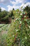Habas verdes que crecen los bastones en el huerto emparedado foto de archivo libre de regalías