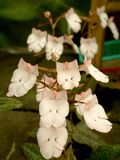 Habenaria carnea. White beautiful orchid royalty free stock images