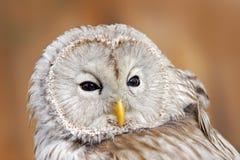 Habichtskauz, Strix uralensis, Detailporträt des großen grauen nächtlichen Vogels, Orange verlässt Eichenwald in den Hintergrund, Lizenzfreie Stockfotografie
