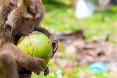 Habitant animal sauvage long-coupé la queue par Macaque des prises de crabe-consommation de l'Asie Thaïlande Taiwan dans les embr photo libre de droits