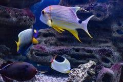 Habitante predatório de Symphorichthys Spilurus do veleiro de Lucian do mundo subaquático fotos de stock
