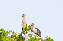 Habitat of Asian Openbill Storks Stock Photo