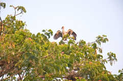 Habitat of Asian Openbill Storks Royalty Free Stock Photography