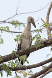 Habitat of Asian Openbill Storks Stock Photography