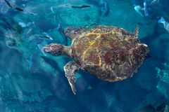 Habitat big sea turtle close-up Royalty Free Stock Photos