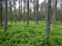 habitat 2000 de Natura da floresta do pântano 91D0* Fotografia de Stock