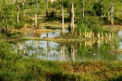 Habitat dei terreni paludosi del lago eagle --Napoli, Florida Immagine Stock Libera da Diritti