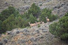 Habitat dos cervos de mula de Wyoming fotografia de stock