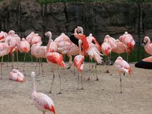 Habitat dos flamingos Fotografia de Stock Royalty Free