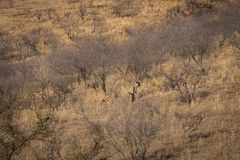 Habitat image with a female tiger and her three new cubs at Ranthambore National Park. A beautiful tigress Noor and her three cubs. Are in search for prey at royalty free stock image