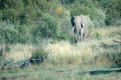 Habitat natural del elefante. Imagen de archivo