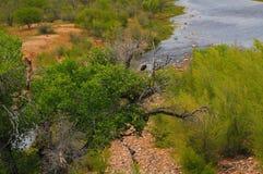 Habitat naturale dell'aquila calva Immagini Stock