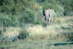 Habitat normal d'éléphant. Image stock