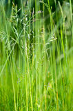 Habitat portrait fine grasses Royalty Free Stock Photography