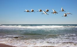 Red-crowned cranes fly over rivers stock images