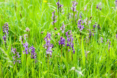 Habitat species rish grassland Royalty Free Stock Photo