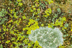 Habitat study lichens on a branch Stock Photography