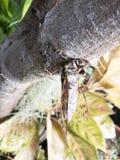Habitatavio цикады Стоковая Фотография RF