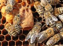 Habitation para uma larva do útero futuro. Foto de Stock