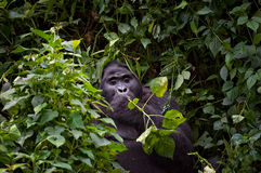 Habituated Blackback Mountain Gorilla Royalty Free Stock Photography