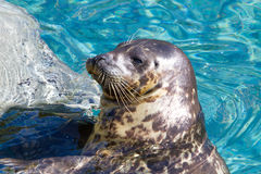 Habor Seal Sunning Royalty Free Stock Photos