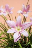 Habranthus robustus light ping petals, ornamental flowering plant. Habranthus robustus, Zephyranthes, Brazilian copperlily, pink fairy lily, the pink rain lily stock photo