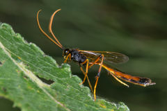 Habrocampulum biguttatum parasitic wasp. An ichneumon wasp in the family Ichneumonidae with orange antennae and long hind legs royalty free stock images