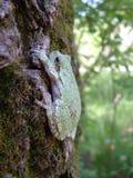 Hace frente Treefrog gris Imagenes de archivo