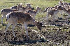 Hace y los ciervos Fotos de archivo libres de regalías