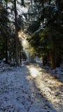 Haces de Sun en bosque del invierno Foto de archivo libre de regalías