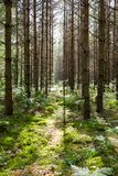 Haces de Sun a través de árboles de pino foto de archivo