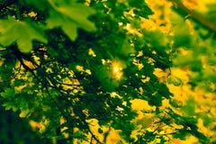 Haces de Sun y hojas del verde imagenes de archivo