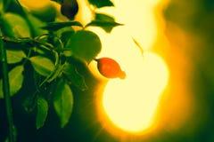 Haces de Sun y hojas del verde con la baya color de rosa salvaje foto de archivo libre de regalías