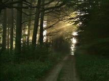 Haces luminosos en bosque foto de archivo