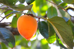 Hachiya Persimmon Stock Photography