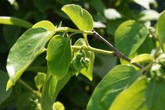 Hachiya persimon, Diospyros kaki Stock Photo