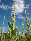 Hacia el cielo Mulleins Foto de archivo libre de regalías