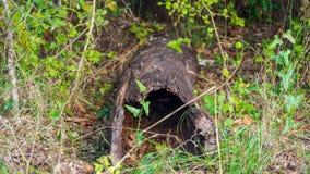 Hacia fuera ahuecado tocón de árbol caido muerto que miente en el piso del bosque rodeado por la vegetación verde imagen de archivo
